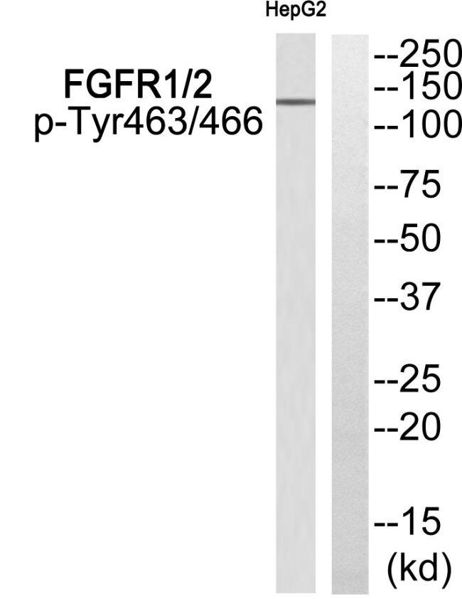 Phospho-FGFR1/FGFR2 (Tyr463, Tyr466) Antibody (PA5-37816)