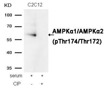 Phospho-AMPK alpha-1,2 (Thr172) Antibody (PA5-37821) in Western Blot