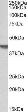 CAPG Antibody (PA5-37846) in Western Blot