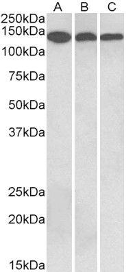 Contactin 1 Antibody (PA5-37852)