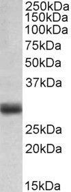 FGF5 Antibody (PA5-37859)