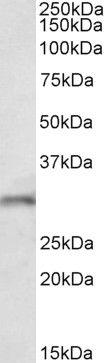 FGF14 Antibody (PA5-37861)