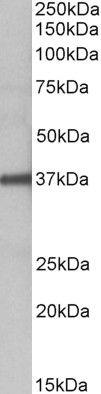FUT2 Antibody (PA5-37863)