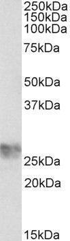 ICAM-4 Antibody (PA5-37869)