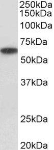 P2X4 Antibody (PA5-37880) in Western Blot