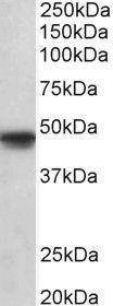 OCT6 Antibody (PA5-37882) in Western Blot
