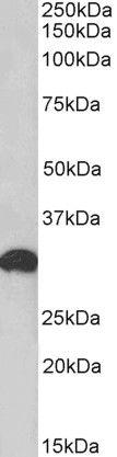 POU6F1 Antibody (PA5-37884) in Western Blot