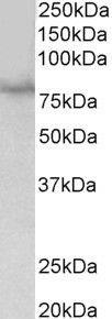 SIM1 Antibody (PA5-37887) in Western Blot