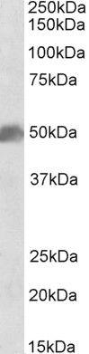 SOX10 Antibody (PA5-37890) in Western Blot