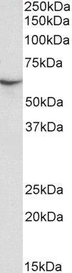 STXBP3 Antibody (PA5-37893)