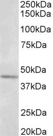 Synaptotagmin 5 Antibody (PA5-37894) in Western Blot