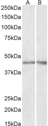 Podocin Antibody (PA5-37904)