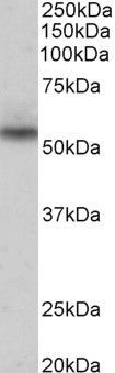 NPRL3 Antibody (PA5-37905)