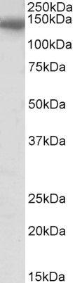 C/EBP zeta Antibody (PA5-37925)