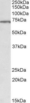 MLC1 Antibody (PA5-37933) in Western Blot