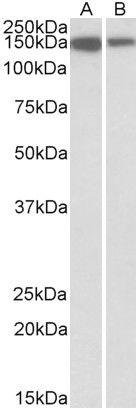 MCF2L Antibody (PA5-37934)