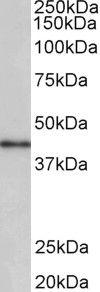 CCNDBP1 Antibody (PA5-37935)