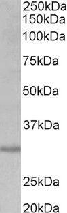 CRLS1 Antibody (PA5-37950) in Western Blot