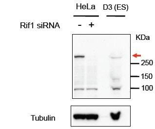 RIF1 Antibody (PA5-37951) in Western Blot
