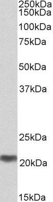MRG Antibody (PA5-37953)
