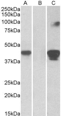 SLAMF8 Antibody (PA5-37955)