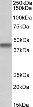 PTCD2 Antibody (PA5-37976)