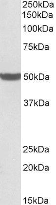 PTCD2 Antibody (PA5-37977) in Western Blot