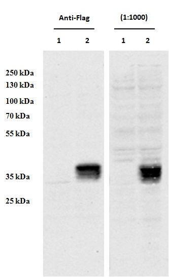CCDC3 Antibody (PA5-37980) in Western Blot