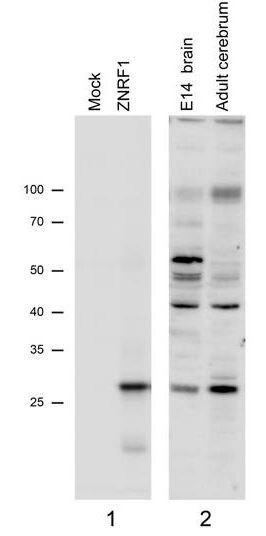 ZNRF1 Antibody (PA5-37982) in Western Blot