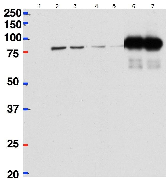 CSTF2 Antibody (PA5-37985) in Immunoprecipitation