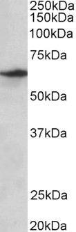 SLC47A2 Antibody (PA5-37989)