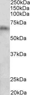 CYP2D10 Antibody (PA5-37998)