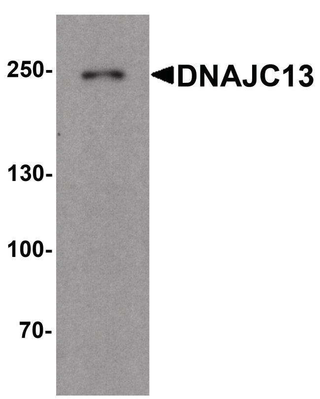 DNAJC13 Antibody (PA5-38026) in Western Blot