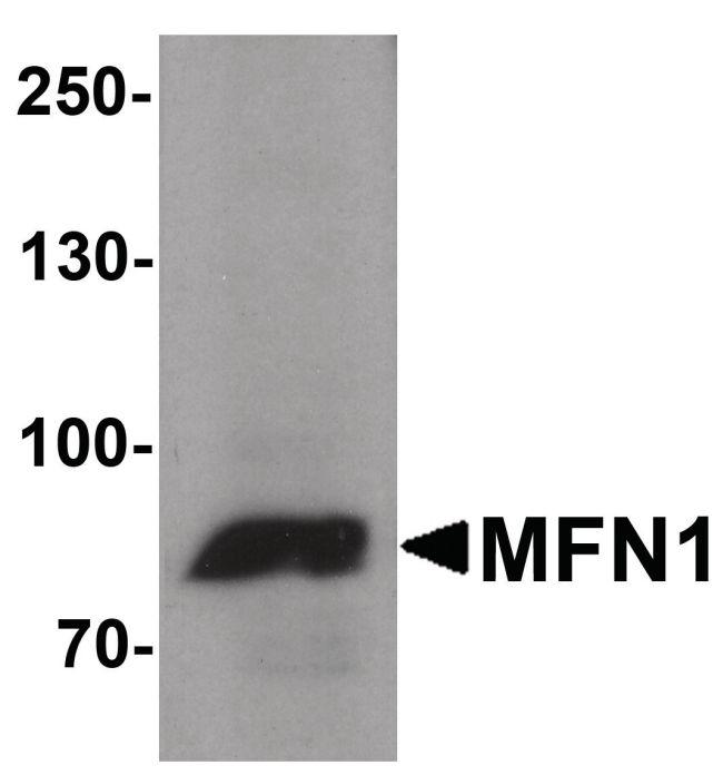 MFN1 Antibody (PA5-38042) in Western Blot