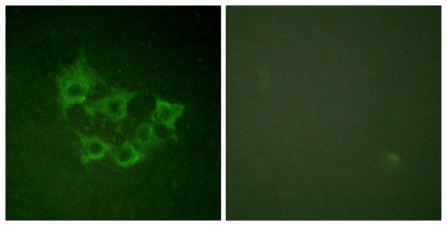 Phospho-COT (Thr290) Antibody (PA5-38082) in Immunofluorescence