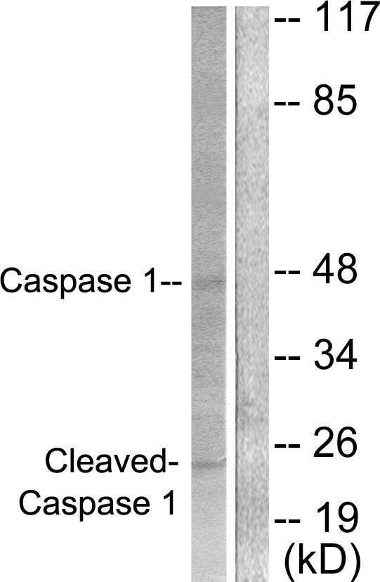 Caspase 1 (Cleaved Asp210) Antibody (PA5-38099) in Western Blot