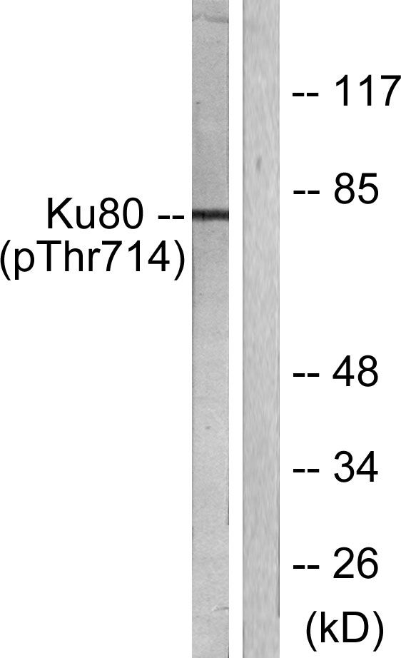 Phospho-Ku80 (Thr714) Antibody (PA5-38118) in Western Blot