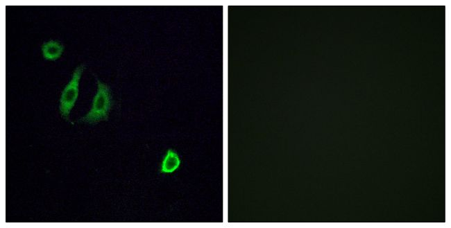 OR4F6 Antibody (PA5-38120)