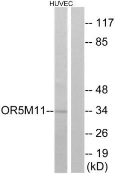 OR5M11 Antibody (PA5-38121)