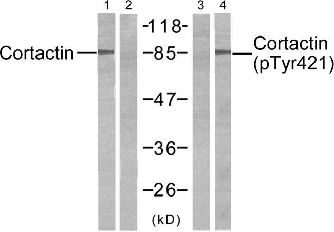 Phospho-Cortactin (Tyr421) Antibody (PA5-38129)
