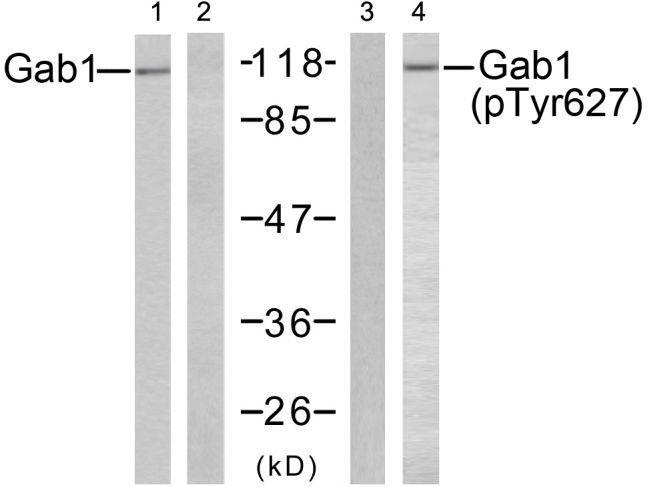 Phospho-GAB1 (Tyr627) Antibody (PA5-38133) in Western Blot