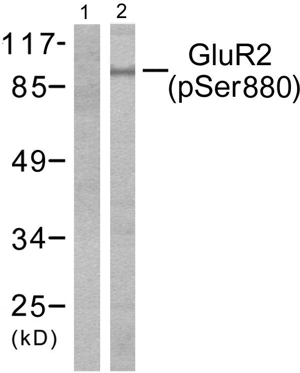 Phospho-GluR2 (Ser880) Antibody (PA5-38134) in Western Blot