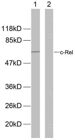 Phospho-c-Rel (Ser503) Antibody (PA5-38147) in Western Blot