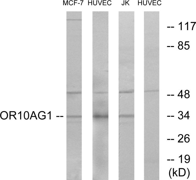OR10AG1 Antibody (PA5-38157) in Western Blot