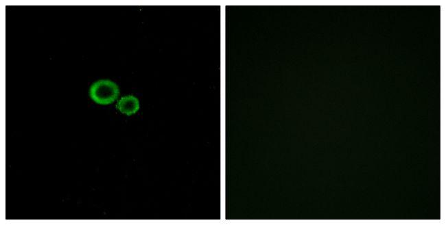 OR11G2 Antibody (PA5-38162)