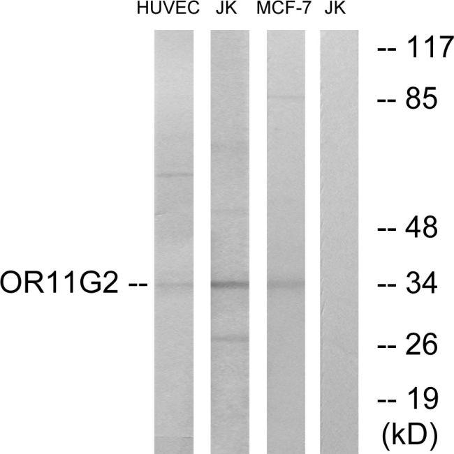 OR11G2 Antibody (PA5-38162) in Western Blot