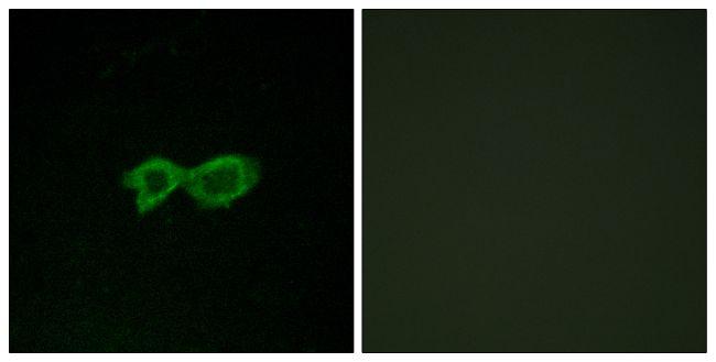 OR13C4 Antibody (PA5-38164) in Immunofluorescence
