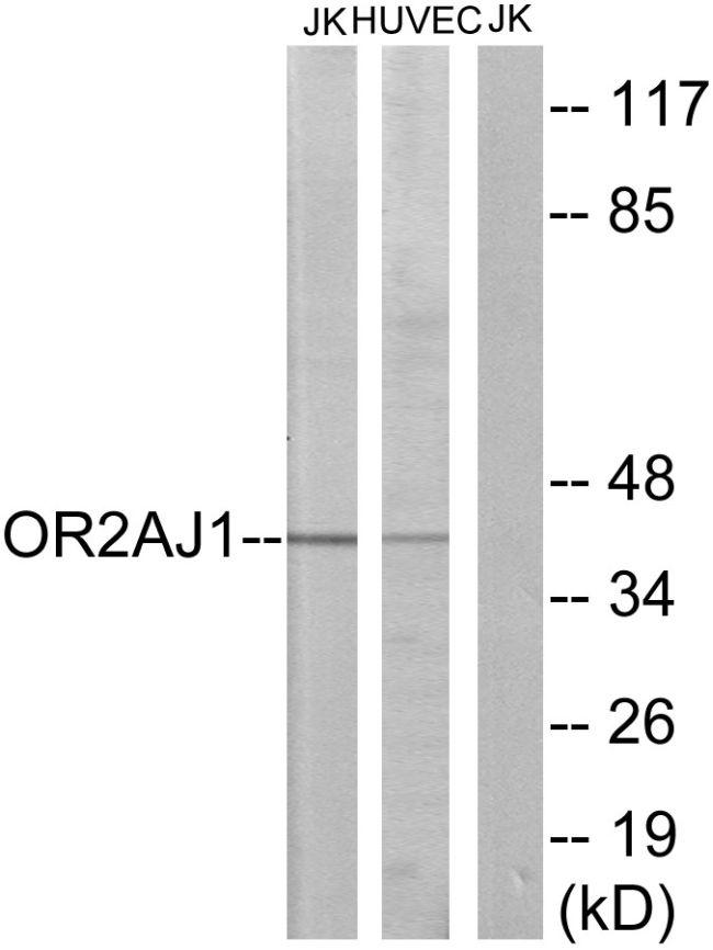 OR2AJ1 Antibody (PA5-38167) in Western Blot