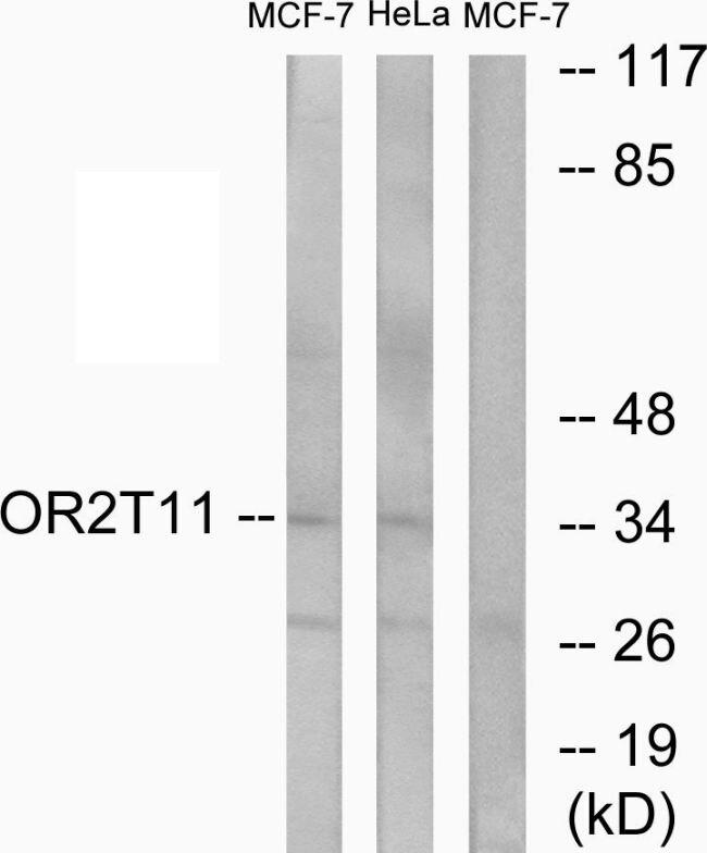OR2T11 Antibody (PA5-38170) in Western Blot