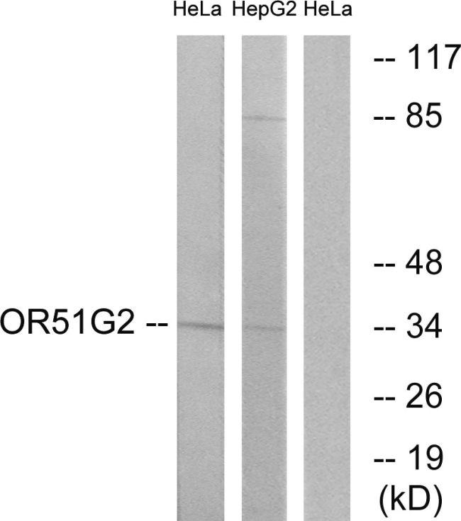 OR51G2 Antibody (PA5-38172)